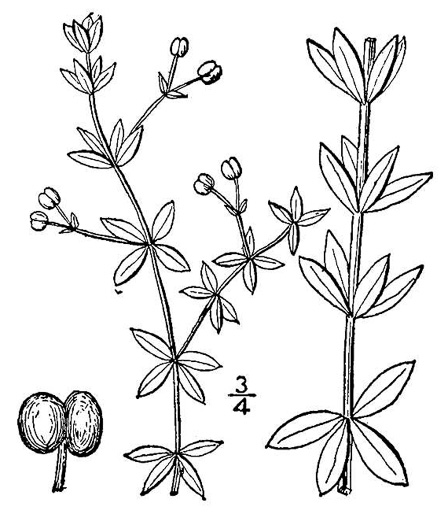 drawing of Galium circaezans, Forest Bedstraw, Licorice Bedstraw