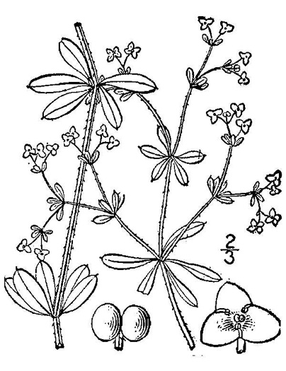 drawing of Galium tinctorium +, Stiff Marsh Bedstraw, Dye Bedstraw, Three-lobed Bedstraw