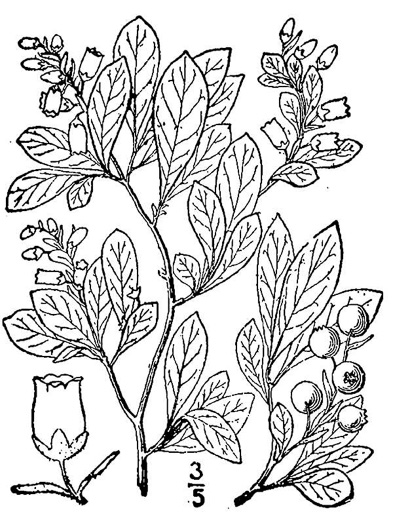 drawing of Gaylussacia dumosa, Southern Dwarf Huckleberry