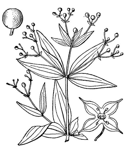 drawing of Galium latifolium, Purple Bedstraw, Wideleaf Bedstraw