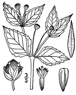 image of Galinsoga parviflora var. parviflora, Lesser Peruvian-daisy, Gallant Soldiers