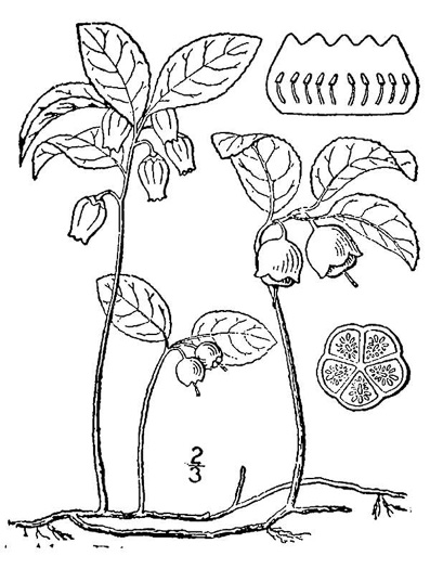 drawing of Gaultheria procumbens, Wintergreen, Teaberry