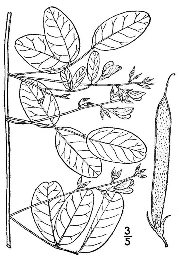 image of Galactia volubilis var. volubilis, Smooth Milkpea, Common Milkpea