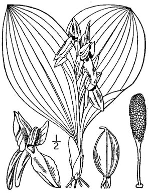 drawing of Galearis spectabilis, Showy Orchis