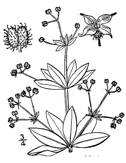 drawing of Galium triflorum, Sweet-scented Bedstraw, Fragrant Bedstraw