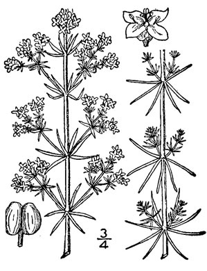 drawing of Galium verum, Yellow Bedstraw, Our Lady's Bedstraw
