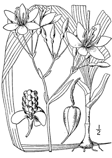 image of Iris domestica, Blackberry-lily