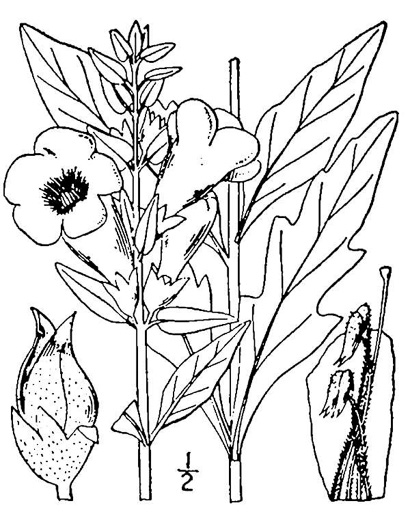 image of Aureolaria flava, Smooth False-foxglove, Eastern Smooth Oak-leach