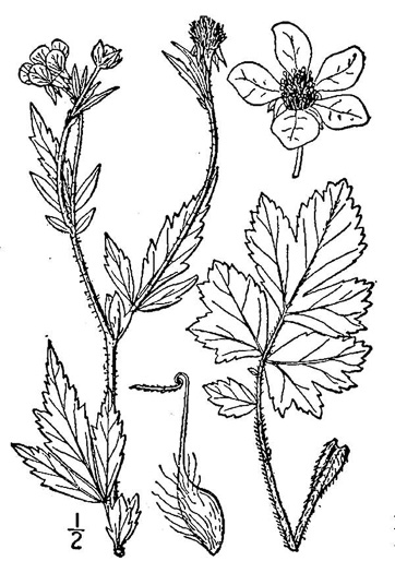 image of Geum aleppicum, Yellow Avens