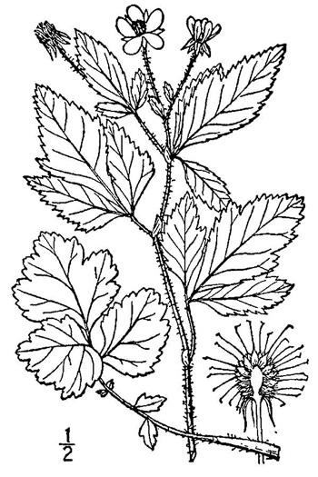 image of Geum virginianum, Pale Avens, Cream Avens