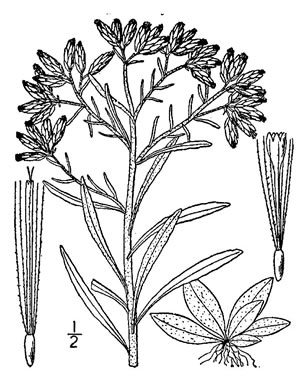image of Pseudognaphalium obtusifolium, Fragrant Rabbit Tobacco, Sweet Everlasting, Catfoot