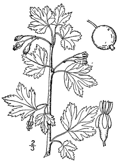 drawing of Ribes hirtellum, Northern Gooseberry
