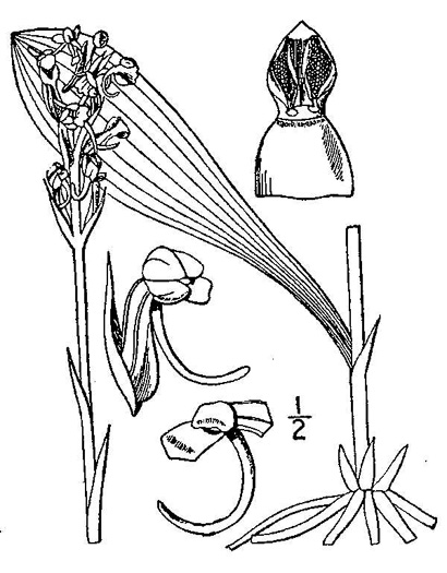 drawing of Platanthera clavellata, Small Green Wood Orchid, Club-spur Orchid, Woodland Orchid, Streamhead Orchid