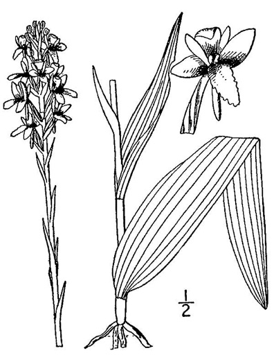 drawing of Platanthera integra, Yellow Fringeless Orchid, Golden Frog Orchid, Golden Fringeless Orchid