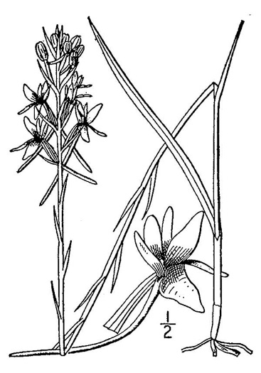 drawing of Platanthera nivea, Snowy Orchid, Bog-spike