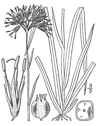 image of Lachnanthes caroliniana, Carolina Redroot