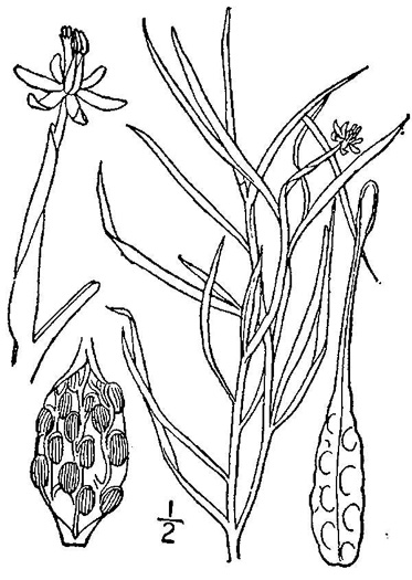 image of Heteranthera dubia, Water Stargrass