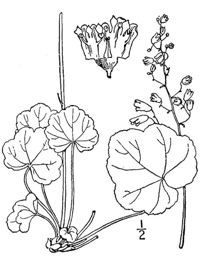 image of Heuchera aceroides, longflower alumroot, Mapleleaf Alumroot