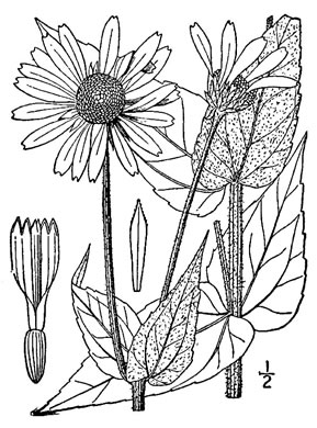 image of Helianthus mollis, Downy Sunflower, Ashy Sunflower, Gray Sunflower
