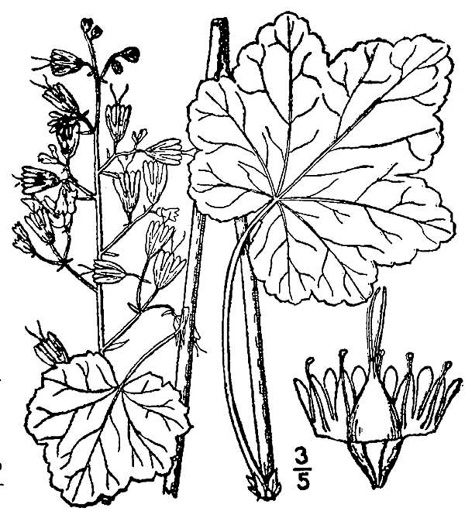 drawing of Heuchera pubescens, Marbled Alumroot, Downy Alumroot