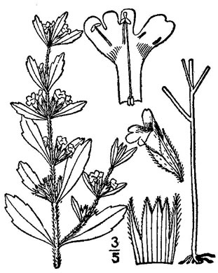 image of Hedeoma pulegioides, American Pennyroyal