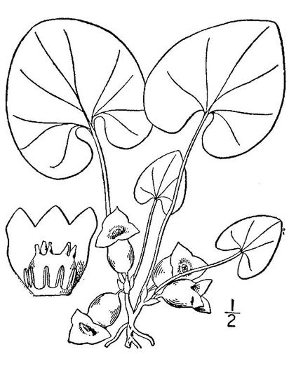 drawing of Hexastylis virginica, Virginia Heartleaf, Virginia Ginger