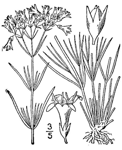 drawing of Houstonia nigricans var. nigricans, Diamond-flower, Glade Bluet