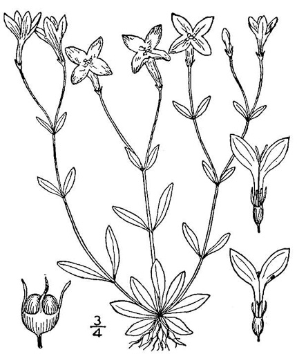 drawing of Houstonia caerulea, Quaker Ladies, Common Bluet, Innocence, Azure Bluet