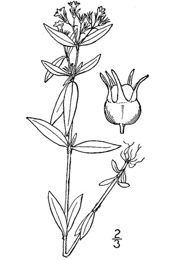 drawing of Houstonia lanceolata, Lanceleaf Bluet, Midwestern Summer Bluet, Glade Mountain Houstonia, Venus's Pride