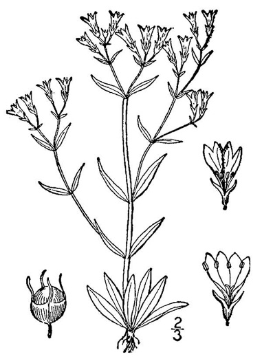 drawing of Houstonia longifolia var. compacta, Longleaf Bluet