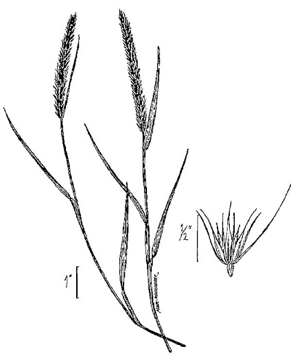 image of Hordeum pusillum, Little Barley