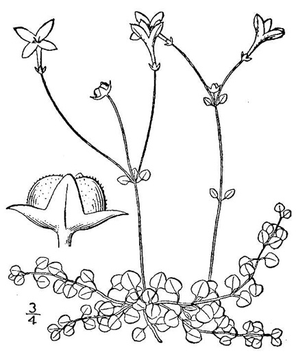 drawing of Houstonia serpyllifolia, Thymeleaf Bluet, Appalachian Bluet, Prostrate Bluet, Marsh Bluet