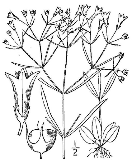 drawing of Houstonia tenuifolia, Narrowleaf Bluet, Diffuse-branched Bluet