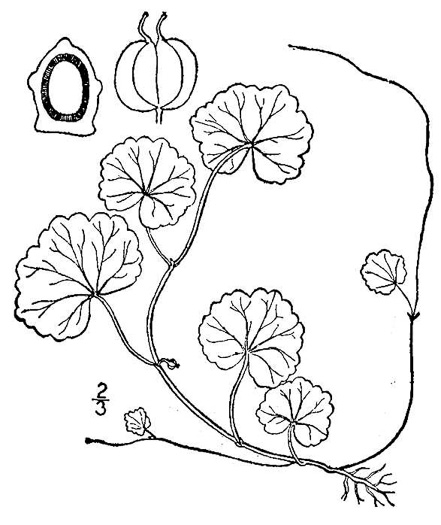 drawing of Hydrocotyle americana, American Water-pennywort