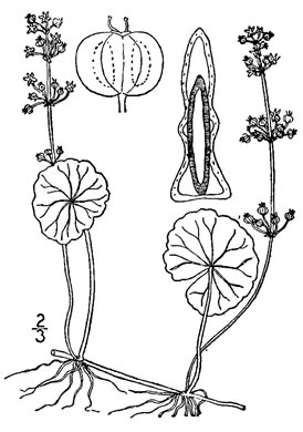 drawing of Hydrocotyle tribotrys, Whorled Marsh-pennywort, Water-pennywort