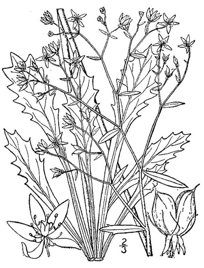 image of Micranthes petiolaris, Michaux's Saxifrage, Cliff Saxifrage