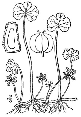 drawing of Hydrocotyle ranunculoides, Swamp Water-pennywort, Floating Marsh-pennywort