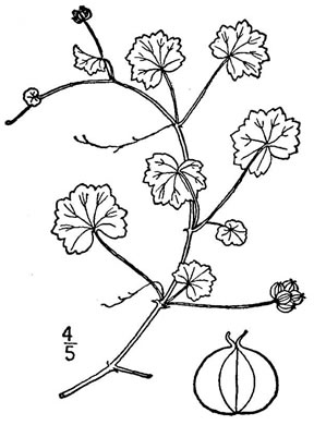 drawing of Hydrocotyle sibthorpioides, Lawn Marsh-pennywort, Lawn Water-pennywort