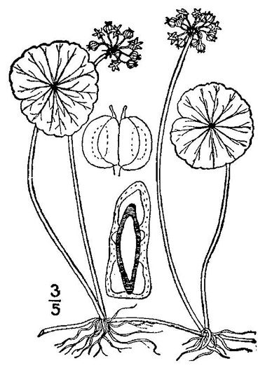 drawing of Hydrocotyle umbellata, Marsh Water-pennywort, Manyflower Marsh-pennywort