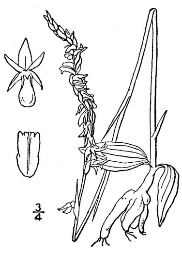 drawing of Spiranthes lacera var. gracilis, Southern Slender Ladies'-tresses