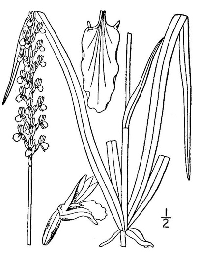 drawing of Spiranthes praecox, Grassleaf Ladies'-tresses, Giant Ladies'-tresses