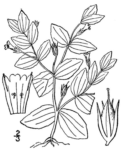 drawing of Lindernia dubia, Yellowseed False Pimpernel