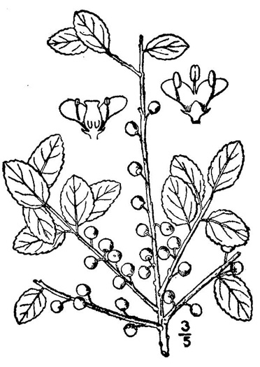 image of Ilex glabra, Inkberry, Bitter Gallberry, Little Gallberry