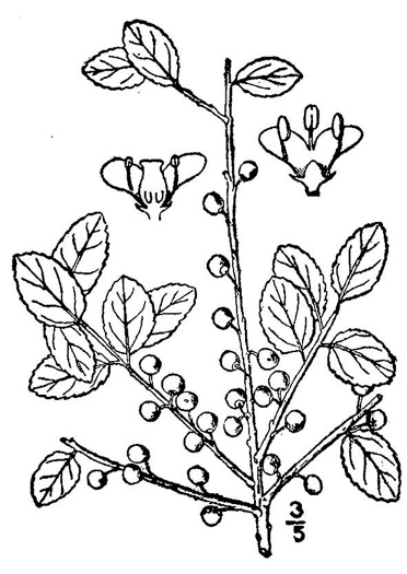 image of Ilex vomitoria, Yaupon Holly, Yaupon
