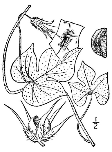 image of Ipomoea hederacea, Ivyleaf Morning Glory