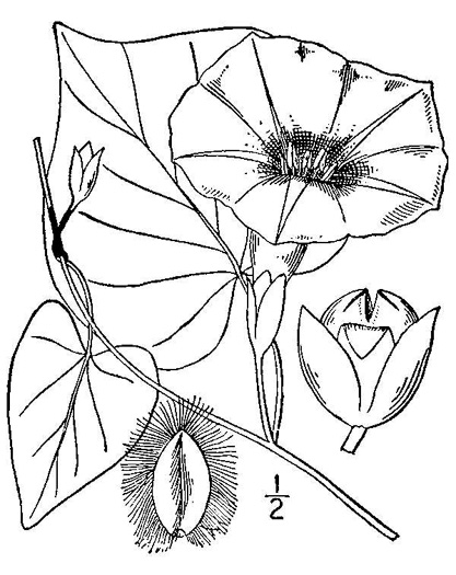 image of Ipomoea pandurata, Manroot, Wild Potato Vine, Man-of-the-earth, Wild Sweet Potato
