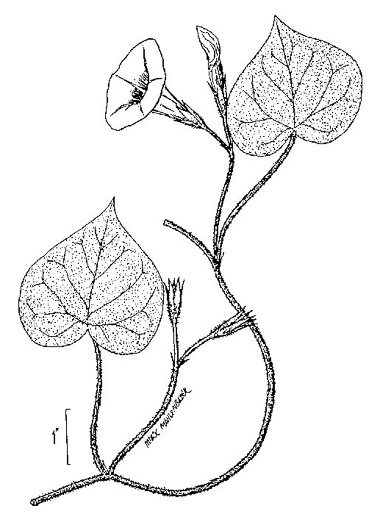 image of Ipomoea purpurea, Common Morning Glory