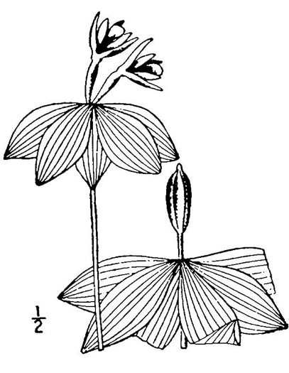 drawing of Isotria medeoloides, Small Whorled Pogonia, Little Five-leaves
