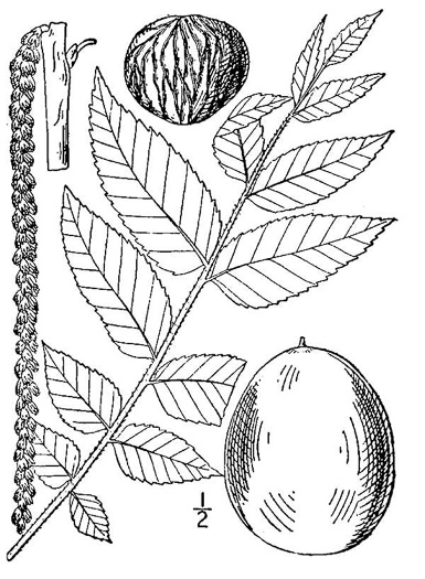image of Juglans nigra, Black Walnut