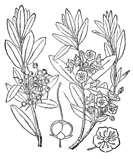 drawing of Kalmia angustifolia, Northern Sheepkill, Sheep Laurel, Lamb-kill